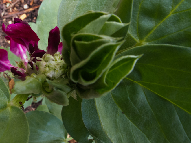 Crimson broad bean flower