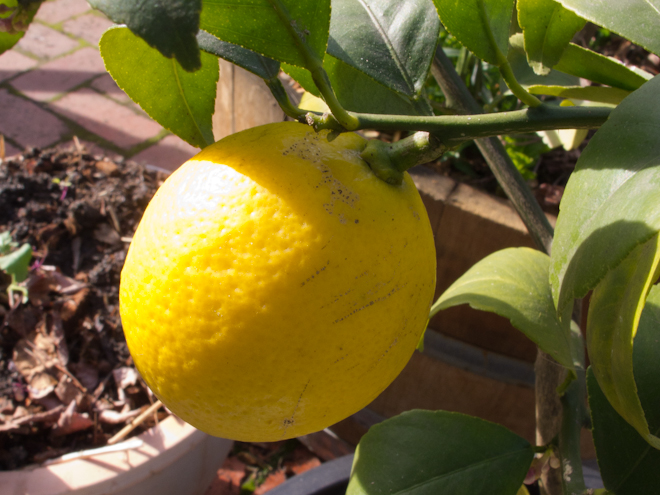 Meyer lemon in the garden