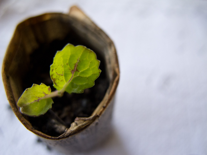 Giant mustard seedling in a newspaper pot