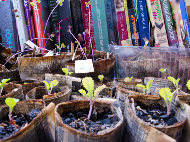 Mustard, asparagus and cabbage seedlings in front of books
