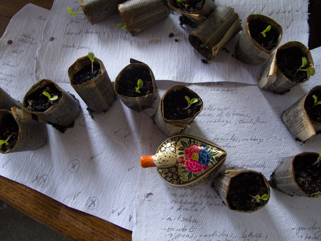 Newspaper pot seedlings in a row with an ornamental duck