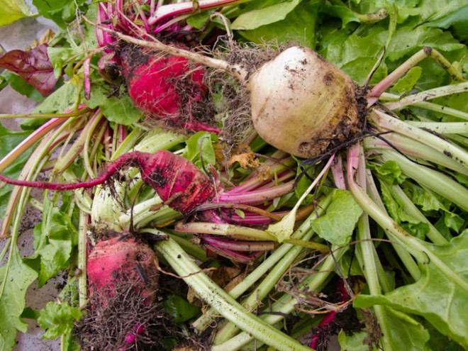 Beetroot harvested in preparation for the Flemington Permablitz