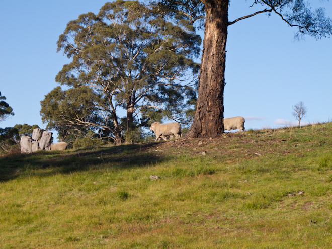 Sheep running along the hillside at dusk near Taradale, Victoria