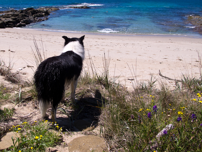 Gracie watching swimmers at the Grey River Beach, the Otways