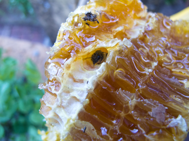 Honeycomb oozing with honey