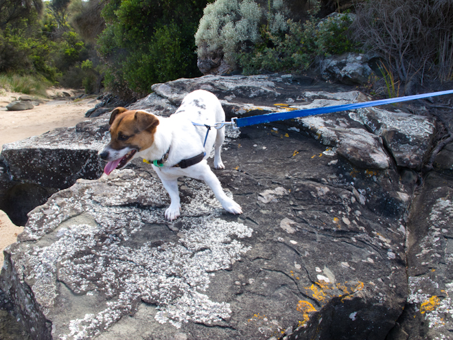 Little the Jack Russell on the rocks, Grey River Australia