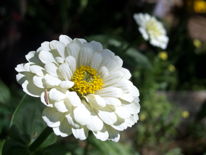 White zinnia in the brassica bed