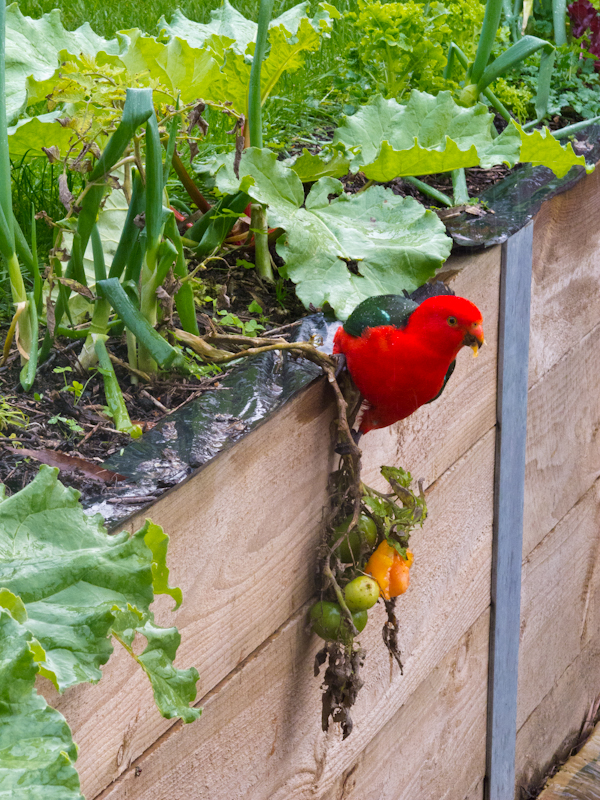 King parrot eating tomatoes at Grey River