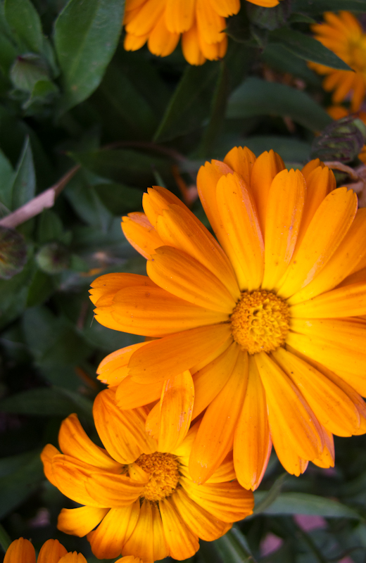 Orange Calendula Flowers