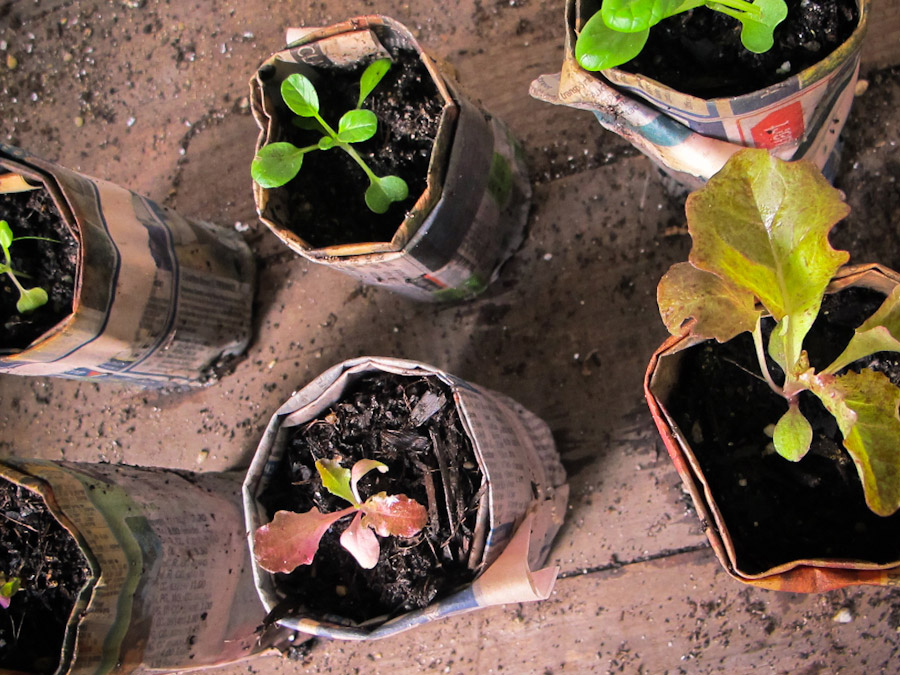 newspaper-pot-seedlings
