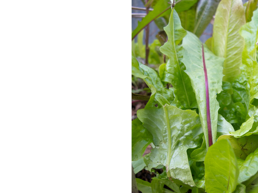 red-ribbed-dandelion-salad