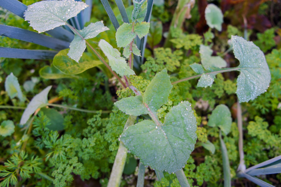 sow-thistle-growing-garden-permaculture