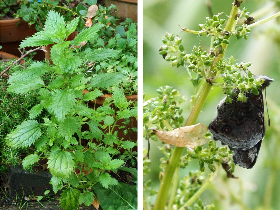 stining-nettle-beneficial-insect-butterfly