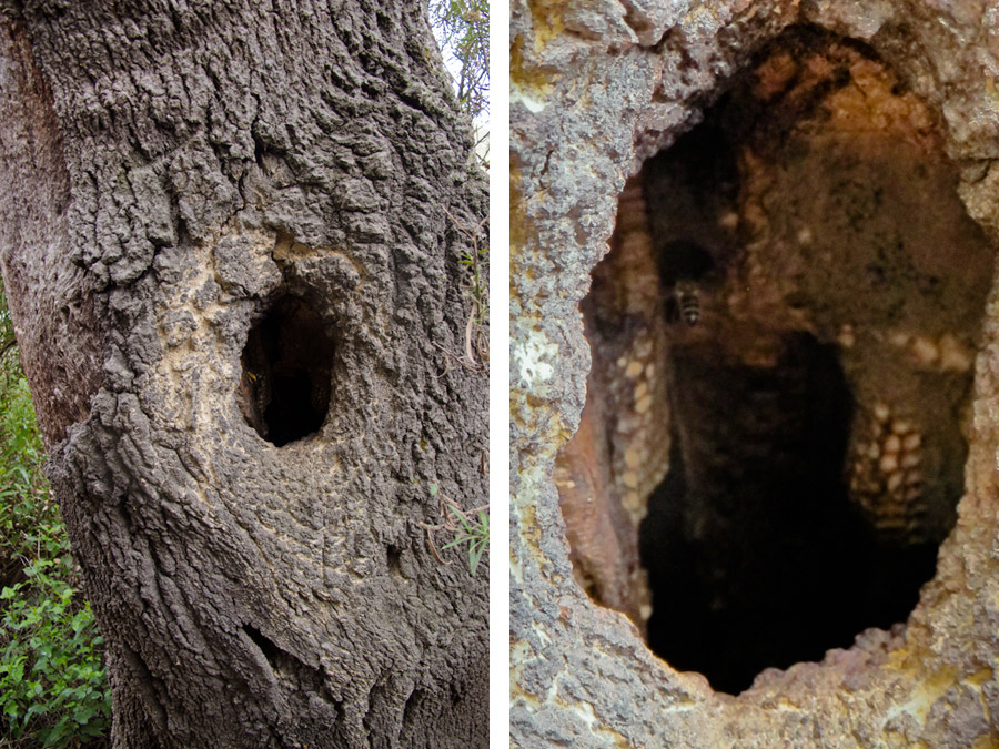 wild-bee-hive-hollow-tree-trunk